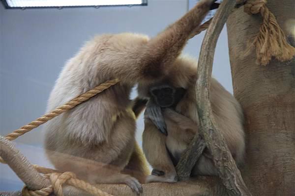 Henry Vilas Park Zoo_恩愛的猴子愛人.JPG