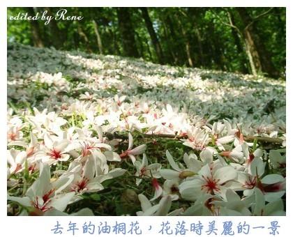 2004 油桐花