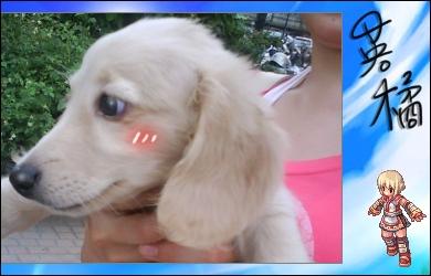 超可愛的小臘腸犬.jpg