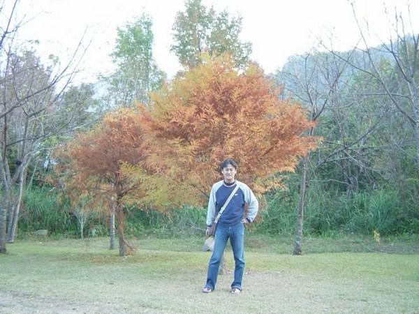 它不是楓樹但紅得很漂亮