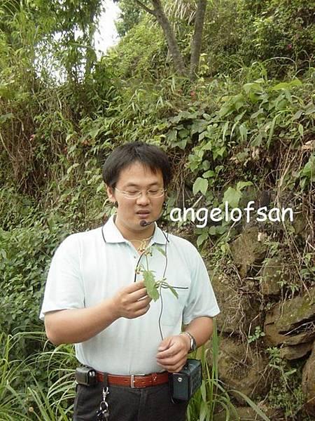 綠色隧道解說員~小葉桑