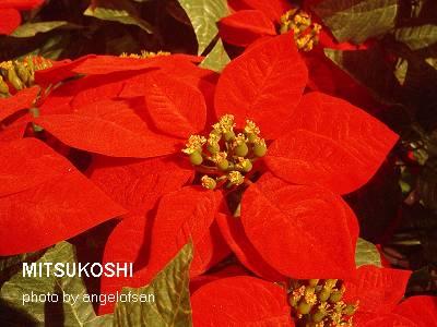 專屬於聖誕節的花卉