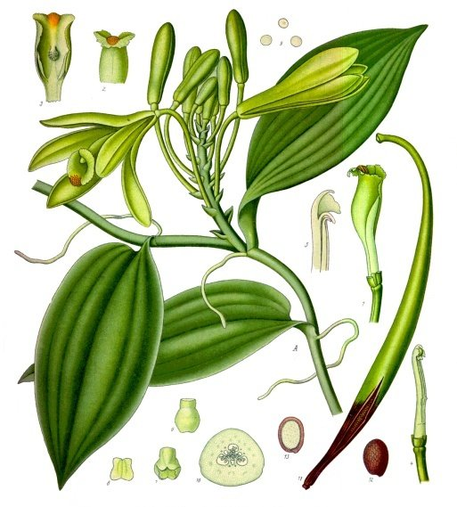 Vanilla_planifolia_-_Köhler–s_Medizinal-Pflanzen-278