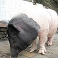 我看過最大的迷你豬
