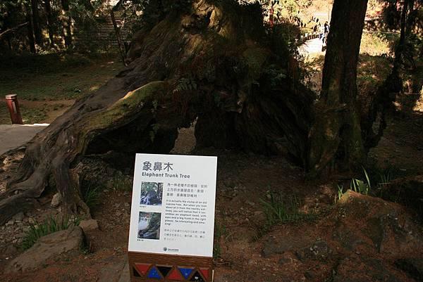 喔喔~~前面的樹洞就是象鼻木~