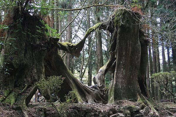 從後面看同心樹