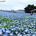 日立海濱粉蝶花01.jpg