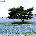 日立海濱粉蝶花15.jpg
