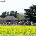 日立海濱粉蝶花26.jpg