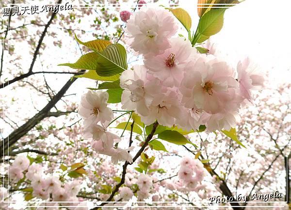 日立海濱粉蝶花28.jpg