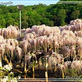 足利花卉花園37.jpg