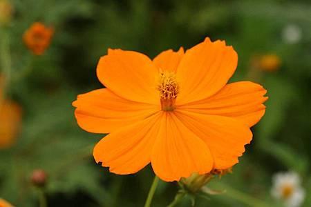 黃波斯菊-花16.jpeg