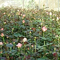 溫室玫瑰園