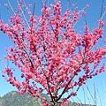 2006年冬櫻