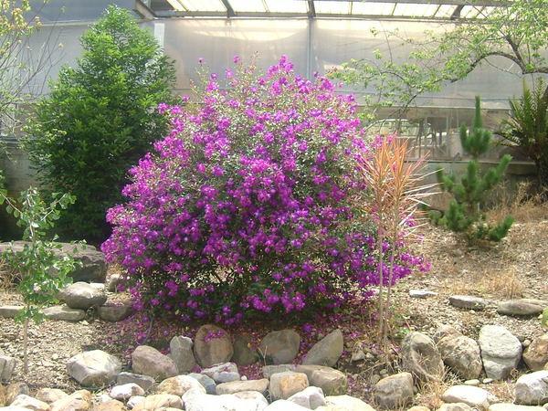 茶廠前小公園--野牡丹(紫色花)