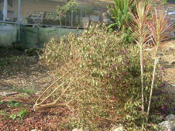 柯羅莎颱風後的野牡丹
