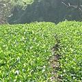 2007冬茶