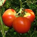 逸軒園的全紅蕃茄(07.11.14)