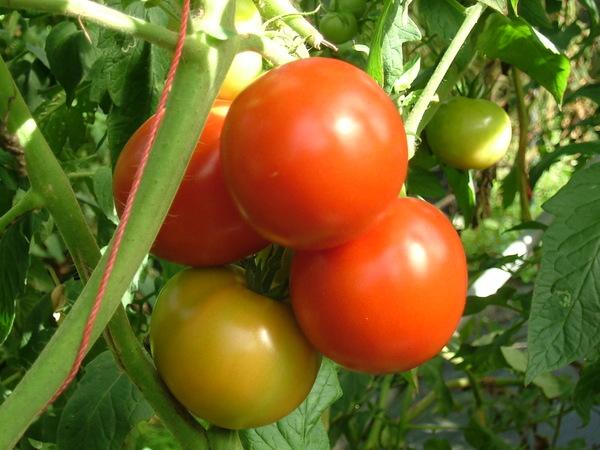 逸軒園07.11.14 拍下的蕃茄