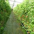2007年逸軒園秋末的蕃茄園