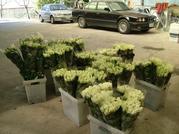 2007年逸軒園待出貨的玫瑰花-比浪卡