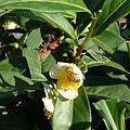 茶園的蜜蜂07.11.16