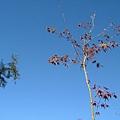 藍天下的楓樹