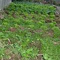 冬天菜園(非賣品)