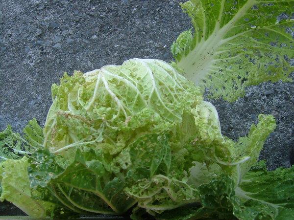 被蟲蟲啃食的有機大白菜