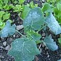 2007年1月下霜的菜園