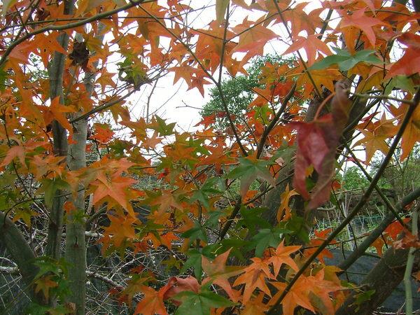 2007逸軒園初冬天的楓葉