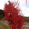 玉山國家公園的紅榨槭