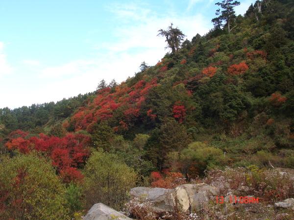 塔塔加的紅榨槭