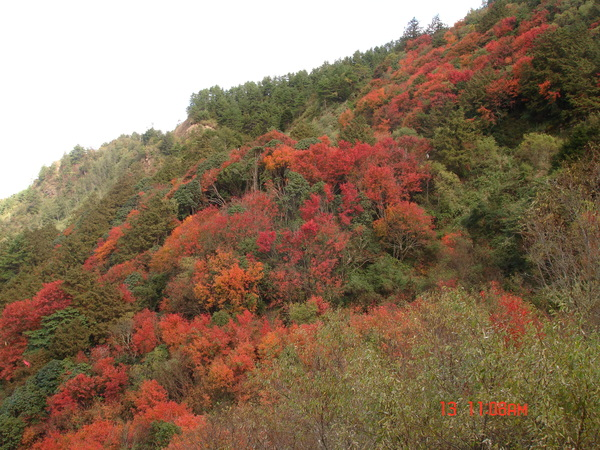 阿里山公路塔塔加路段的紅榨槭