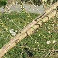 2007年12.222的梅花花苞