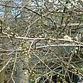 2007年12.22梅花花苞