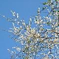 2007.12.28以晴空為底景的梅花