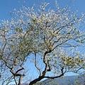 2007.12.28我家院子旁的老梅樹