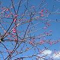 2008.01.07逸軒園櫻花