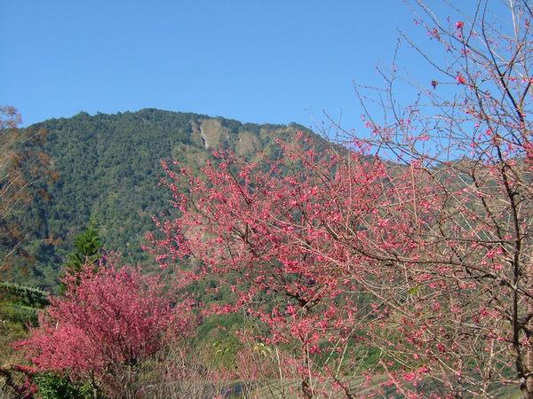 逸軒園晴天裡的櫻花(緋寒櫻)