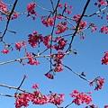 08.01逸軒園櫻花