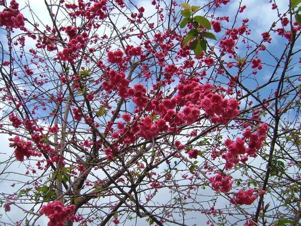 08.02.01逸軒園重瓣櫻花(八重櫻)