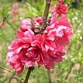 紅色的杏花