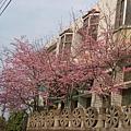 08.03.09昭和櫻