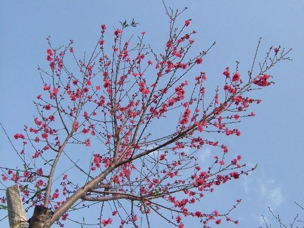 08.03.11杏花