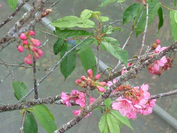 08.03.11櫻花