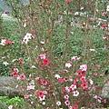 08.03.11松紅莓