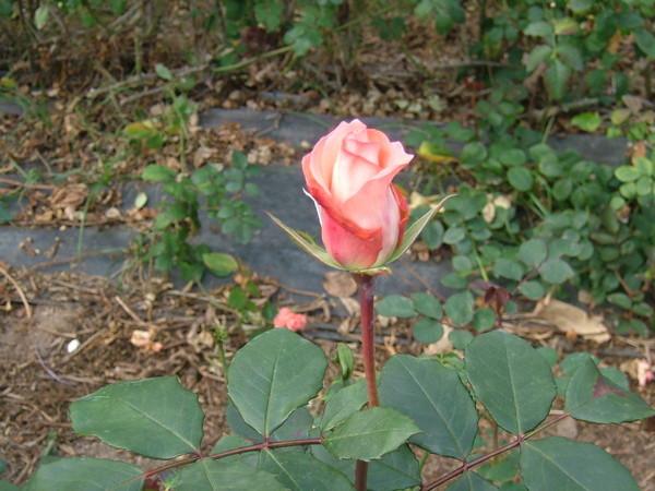 08.03.11玫瑰