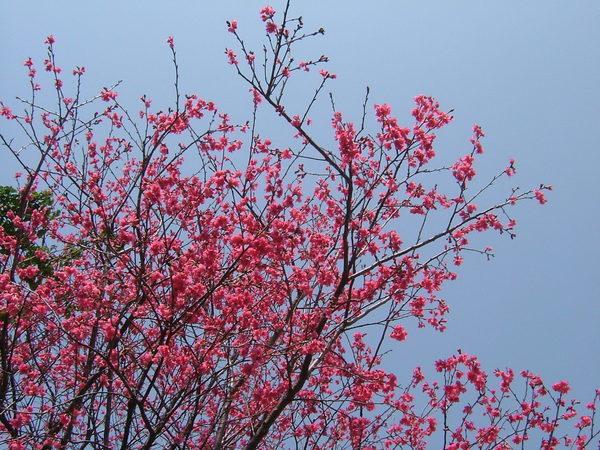 08.03.27三月山櫻