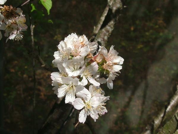 08.04.06像吉野櫻的櫻桃花